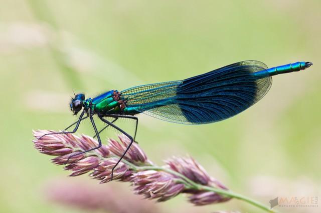 Das Kramsacher Seenplateau – (nicht nur) ein Libellenparadies