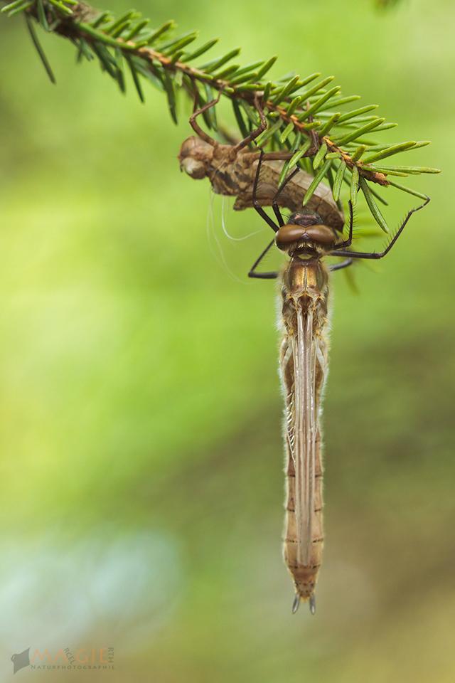Die frisch geschlüpfte Libelle sitzt unter ihrer Larvenhaut (Exuvie)