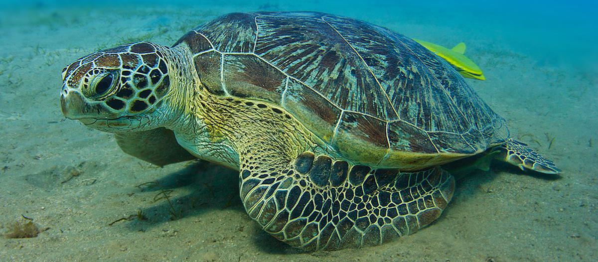 Grüne Schildkröte im Roten Meer