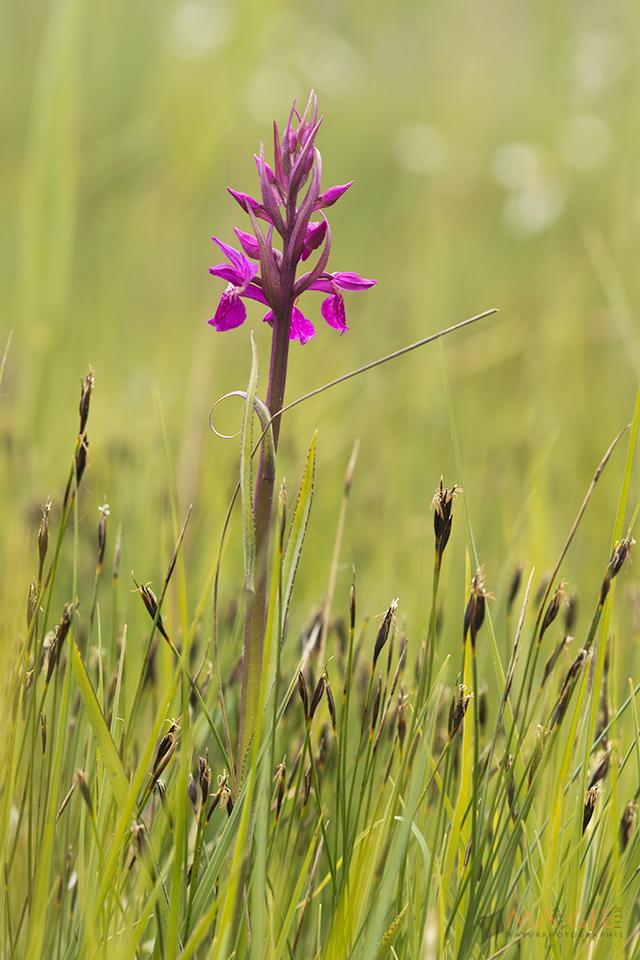 Orchidee in den Spatenbräufilzen