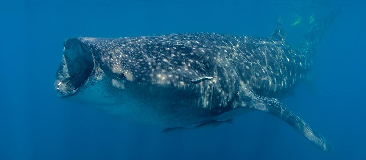 Walhai vor der Isla Mujeres in Mexico