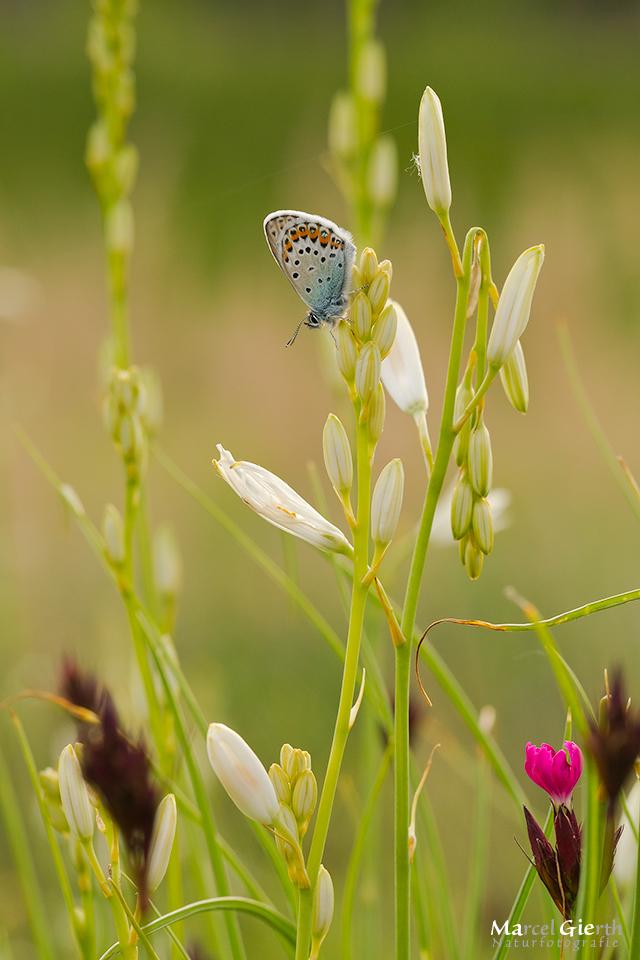 Abends am Riemer See – Schmetterlinge und Libellen beim schlafen beobachtet