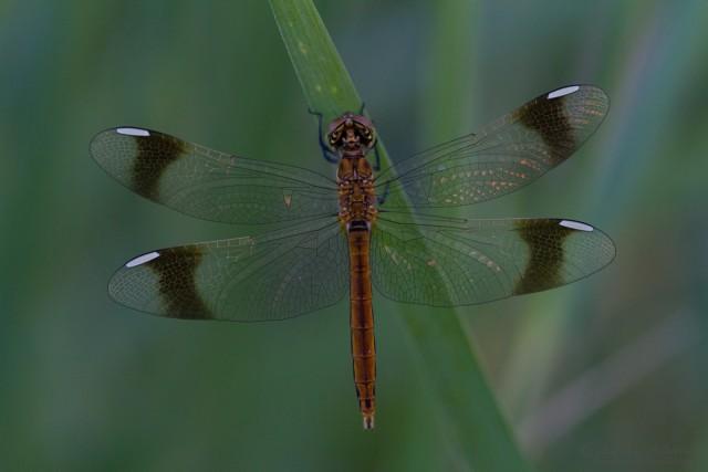 Schwesternart im selben Habitat Sympetrum pedemontanum - Gebänderte Heidelibelle