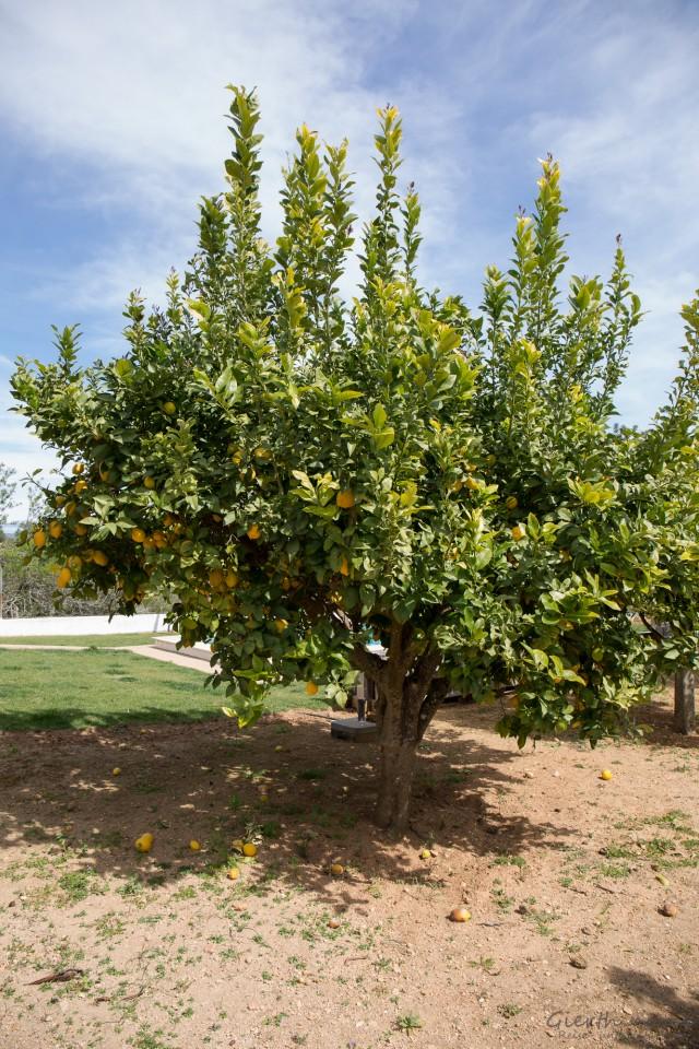 Zitrusbaum im Garten