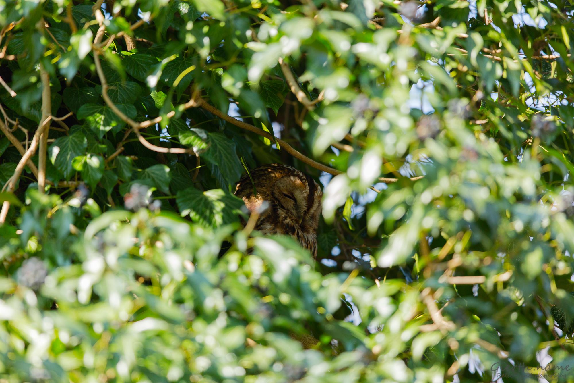 Altvogel versteckt im Efeu