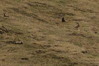 Steinbock Herde