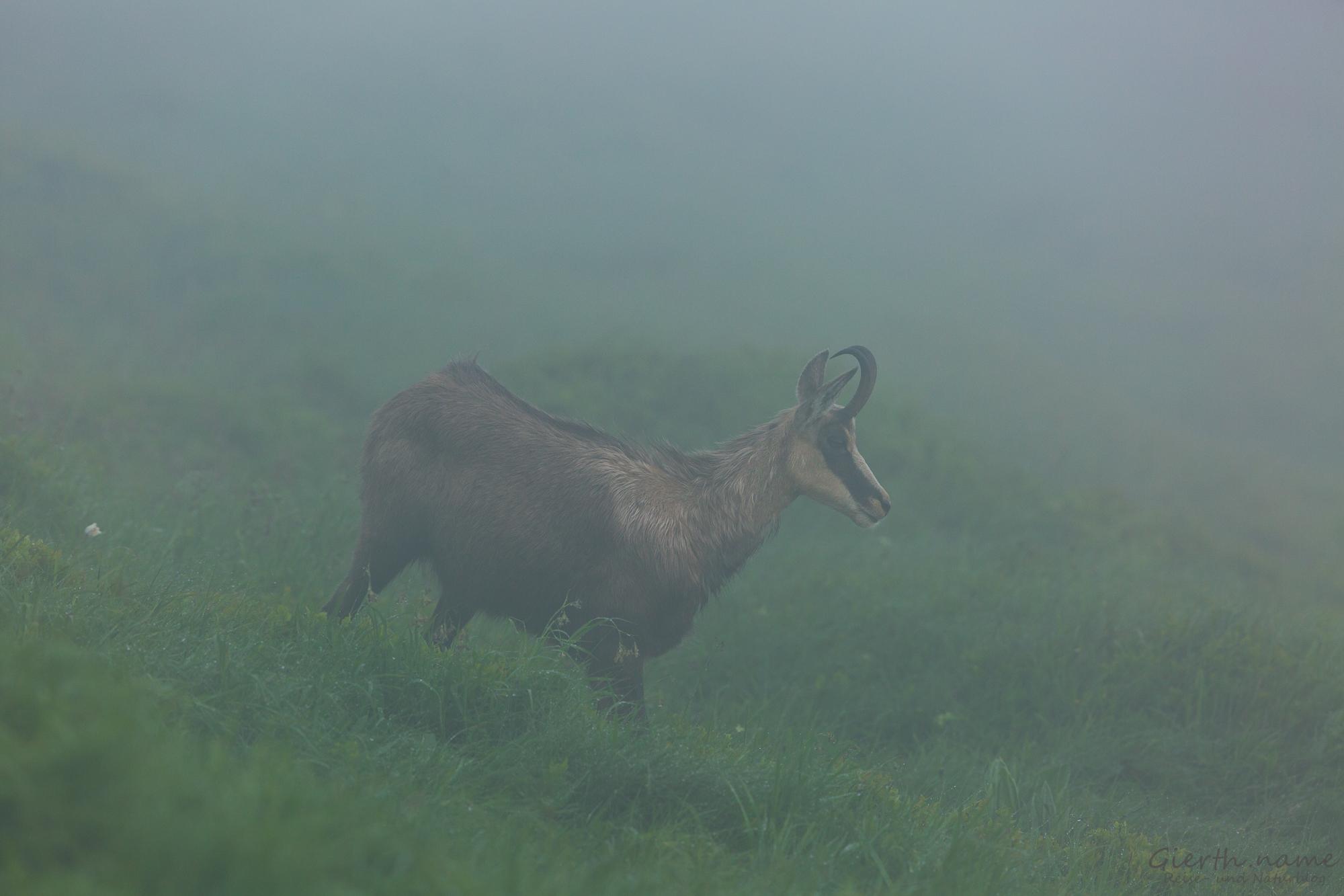 Gämse im Nebel