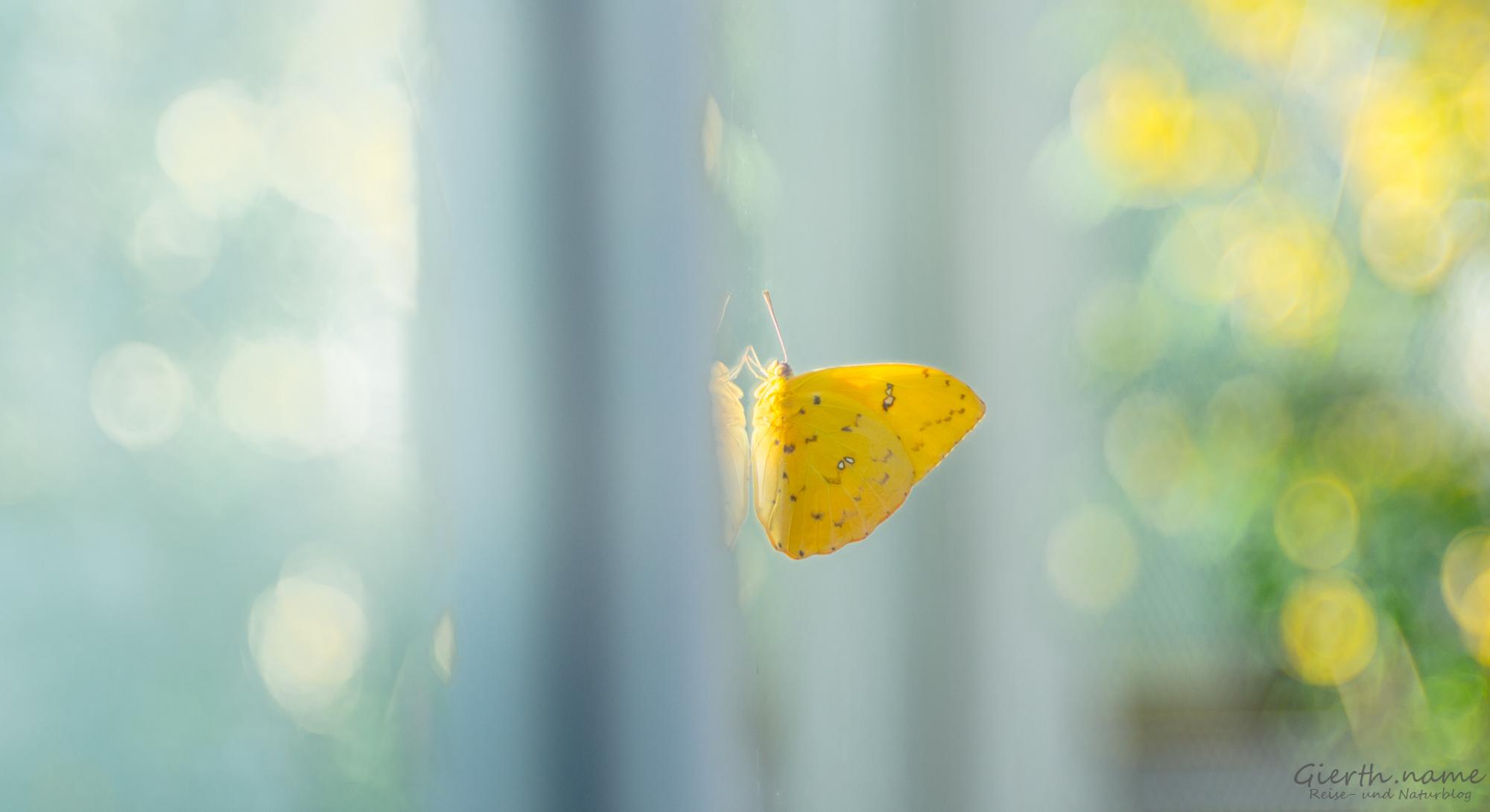 Ausstellung tropische Schmetterlinge im BotMuc