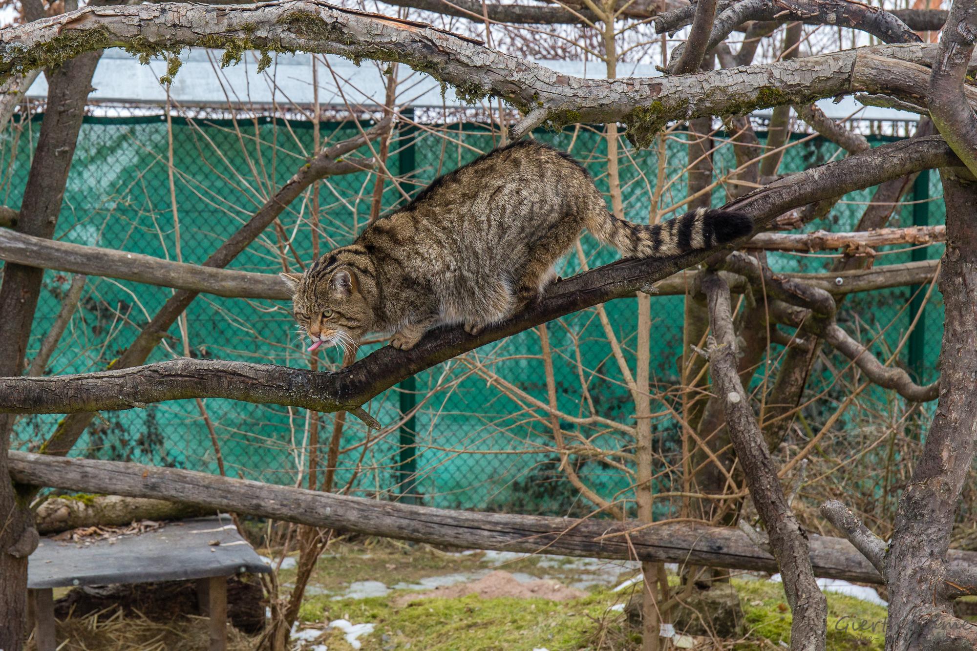 Wildkatze im Wildkatzendorf Hütscheroda