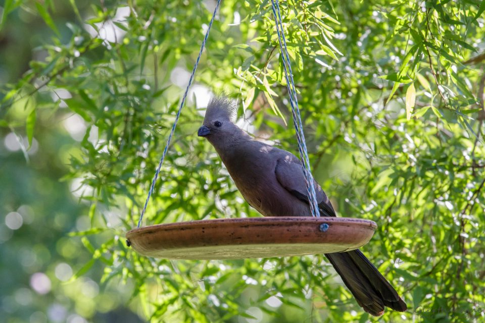 Grey Lourie - Graue Laermvogel - Corythaixoides concolor