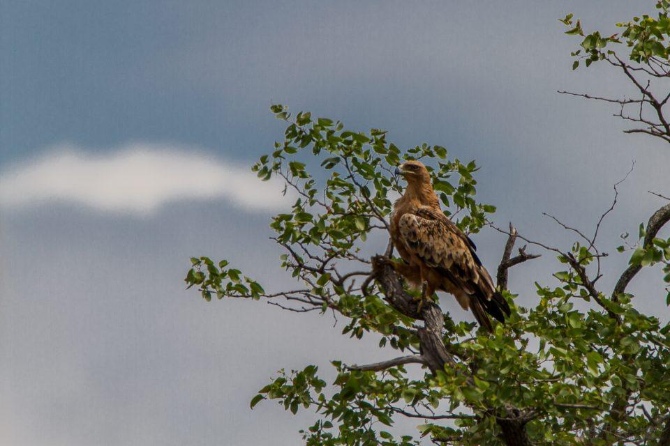 Adler, vermutlich Raubadler