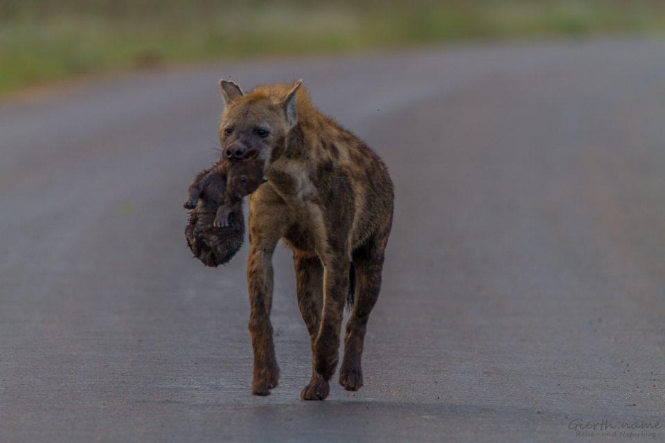 Hyänenmutti mit Welpen