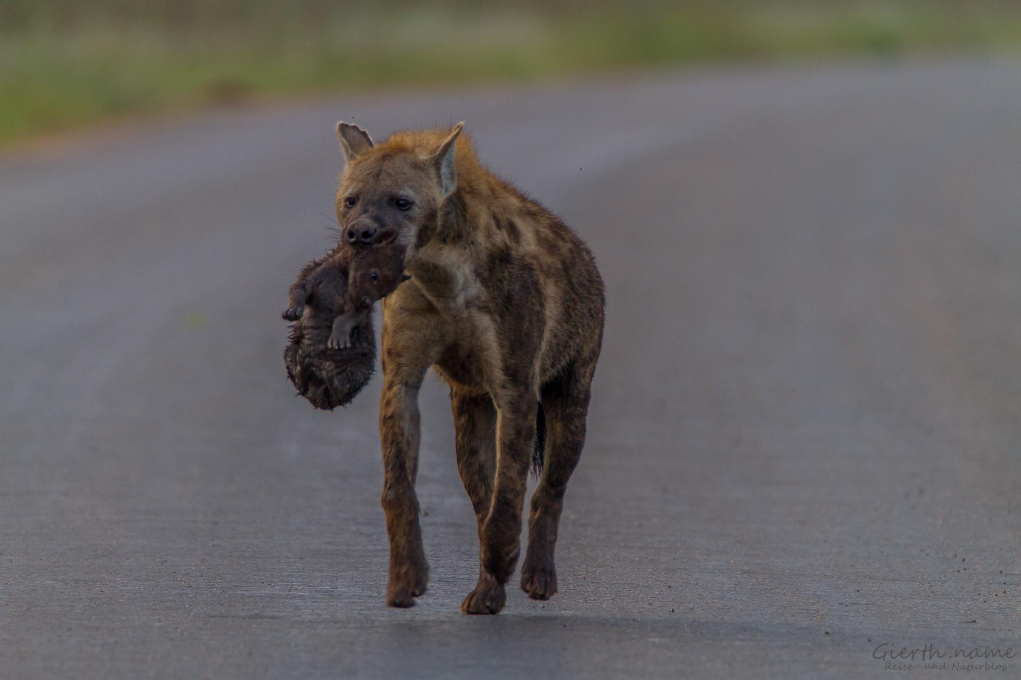 Hyänenmutti mit ihrem Jungen