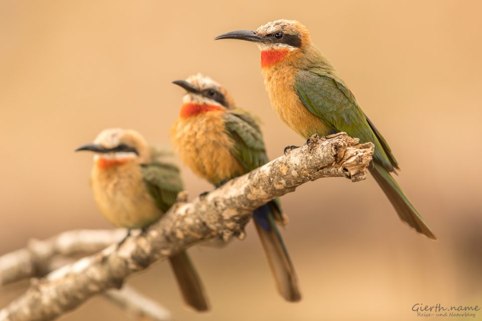 White-fronted-bee-eater - Weißstirnspint