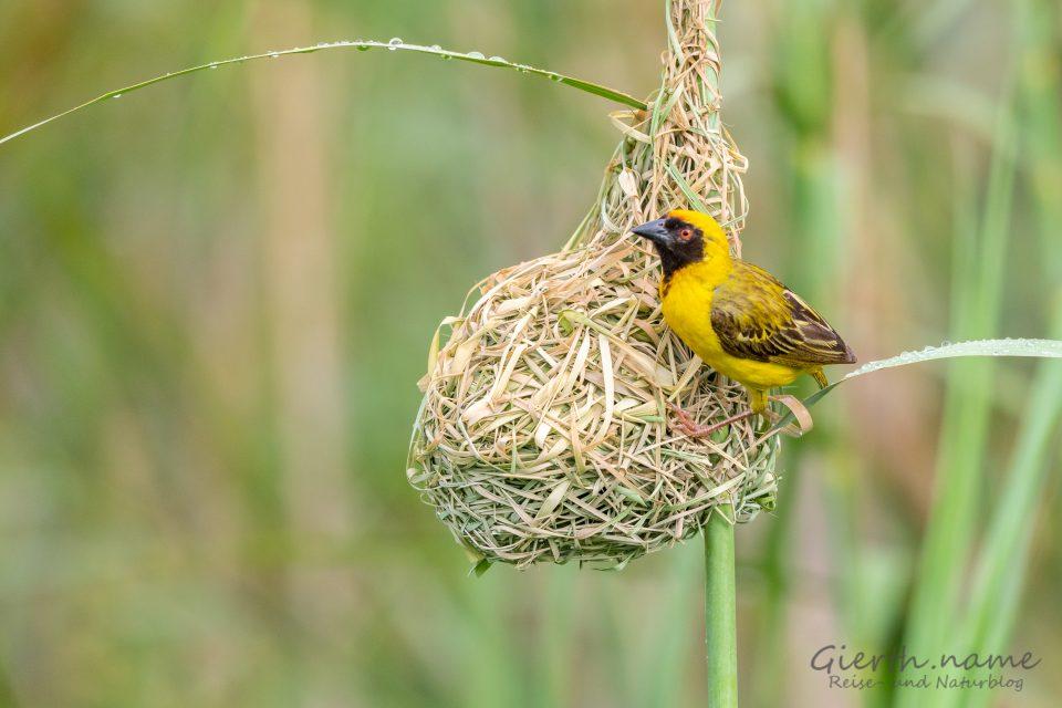 Weber beim Nestbau