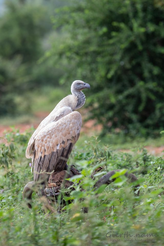 Kapgeier - Cape vulture - Gyps coprotheres