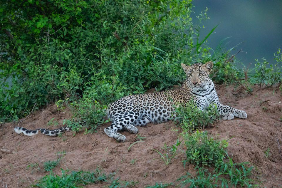 Leopard im Krüger-Park