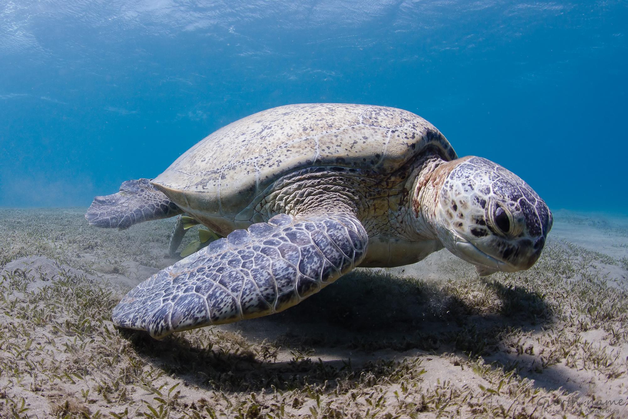 Abu Dabab, Grüne Schildkröte