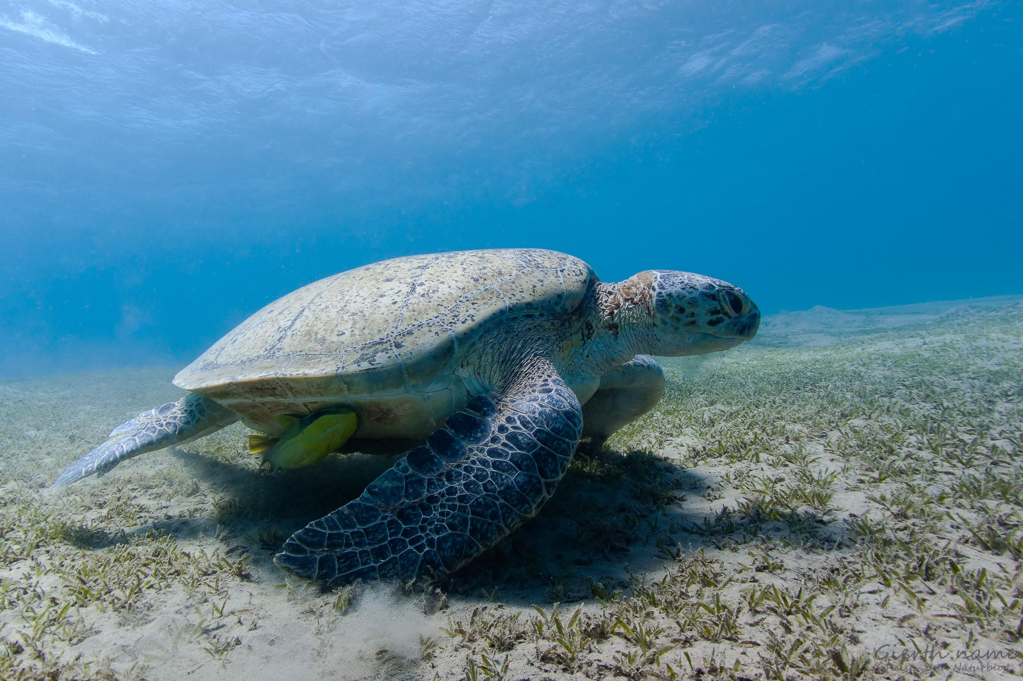 Grüne Schildkröte, Abu Dabab
