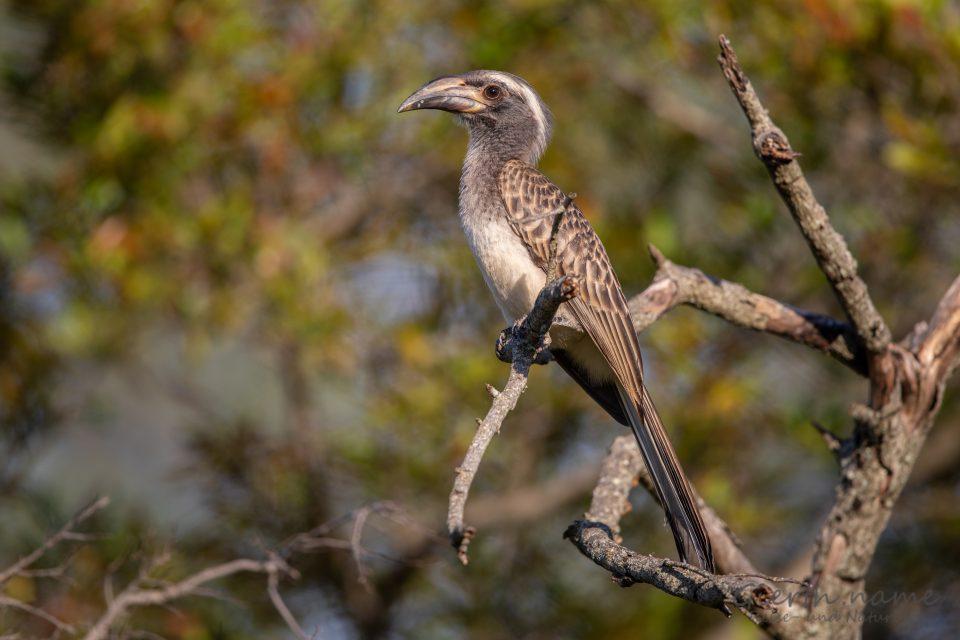 Grautoko - African Grey Hornbill - Tockus nasutus