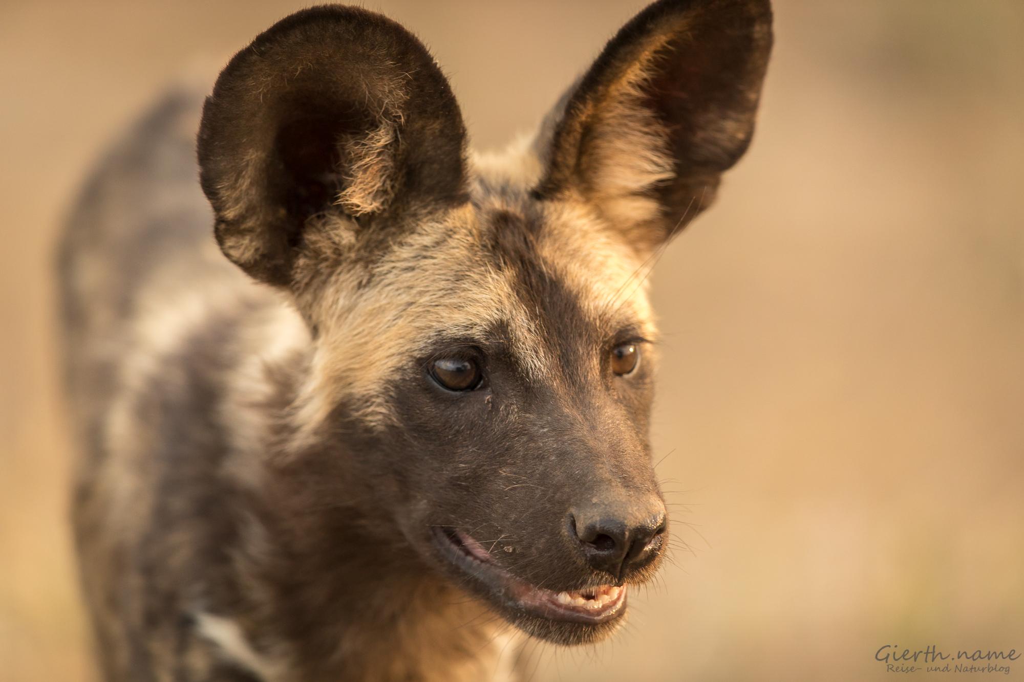 Begegnung mit Wildhunden im Krüger Nationalpark