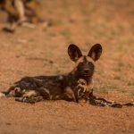 Afrikan Wild Dog, Kruger Park, Afrikanischer Wildhund, Krüger Nationalpark