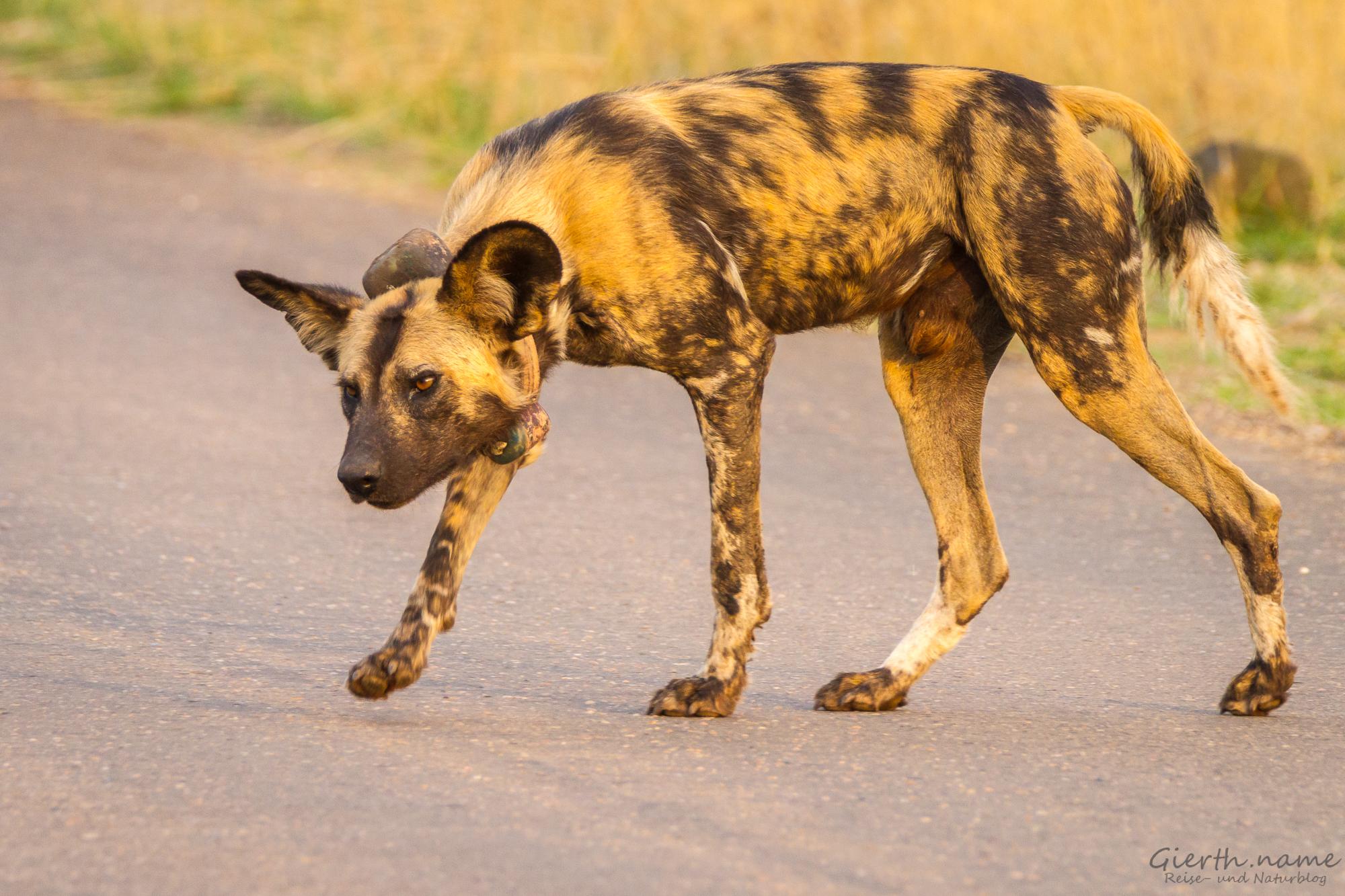 Afrikan Wild Dog with tag, Kruger Park, Afrikanischer Wildhund mit Sender, Krüger Nationalpark