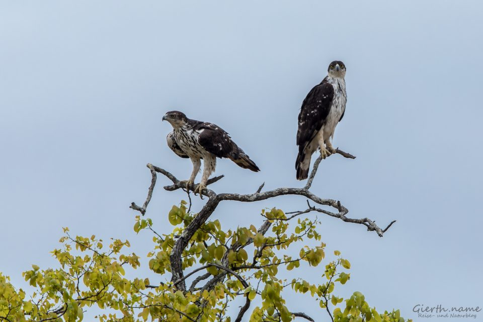Afrikanischer Habichtsadler - African Hawk-Eagle - Aquila spilogaster