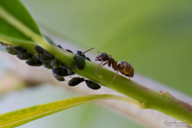 Ameise mit Blattlaus - Trophobiose