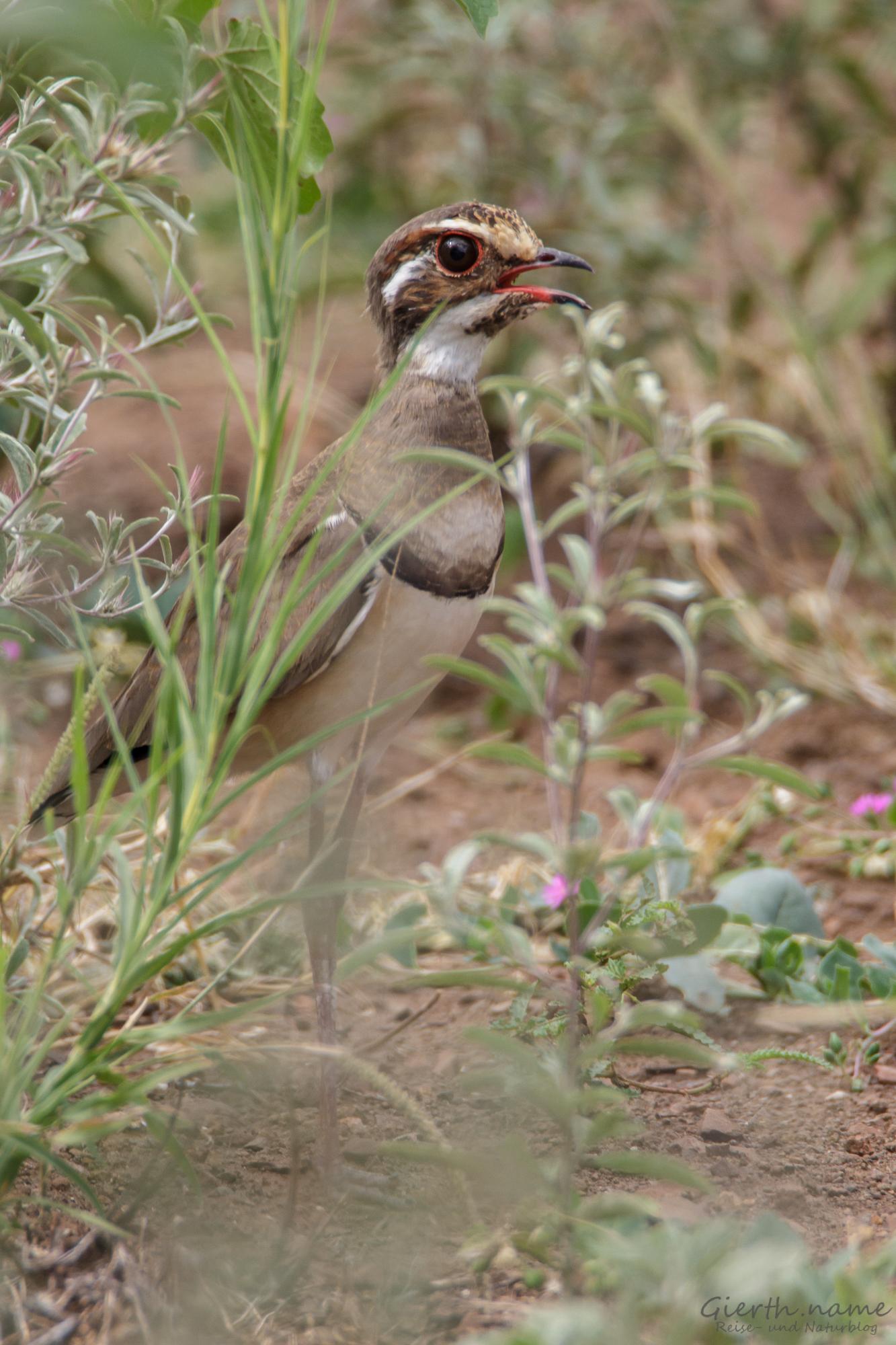 Amethystrennvogel - Bronze-winged coursor - Rhinoptilus chalcopterus
