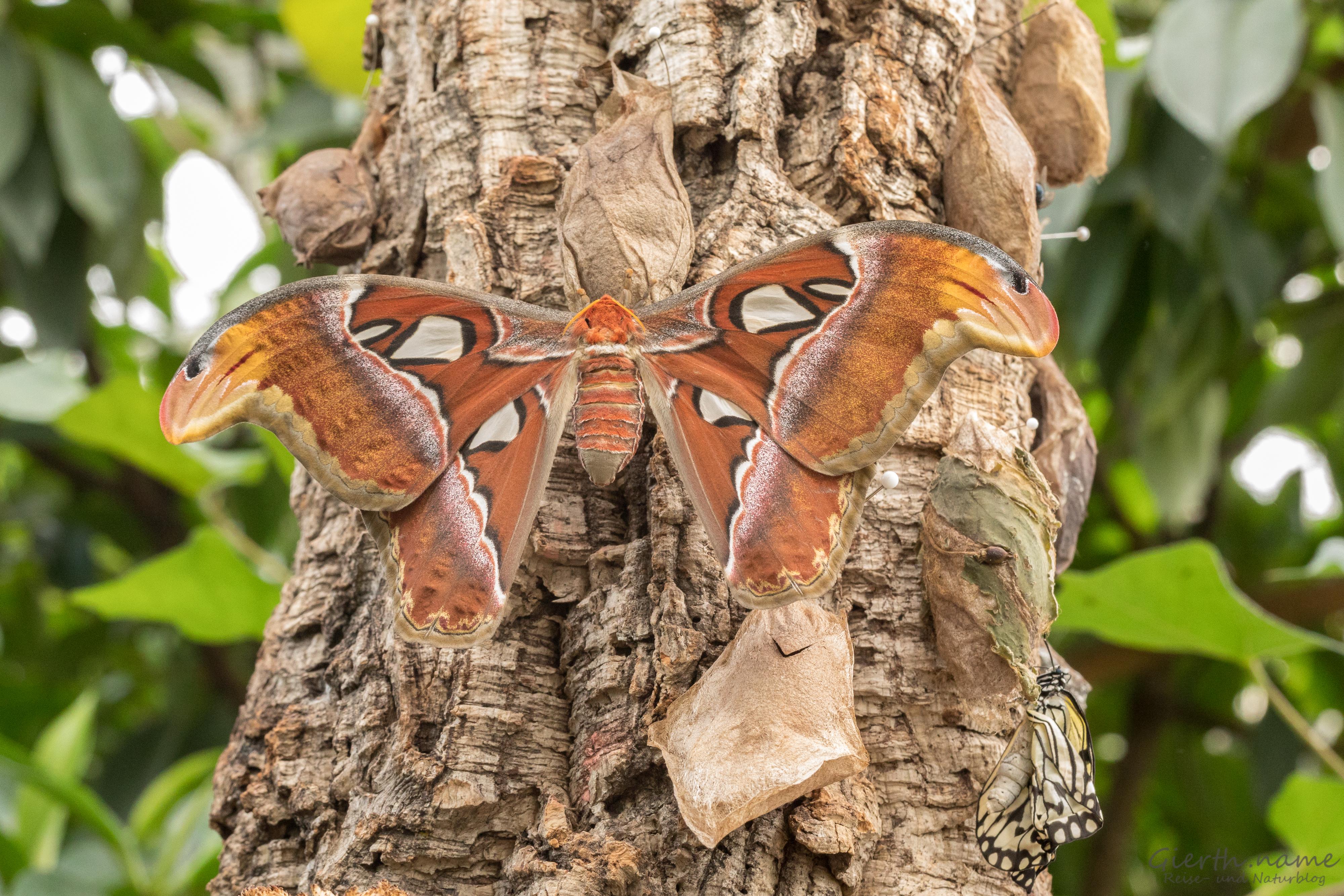 Atlasspinner Weibchen