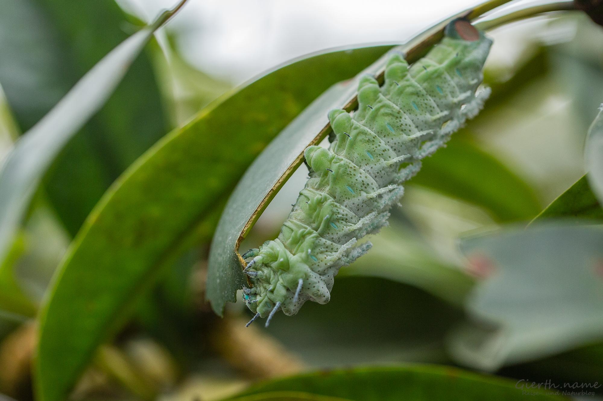 Raupen des Atlasspinners im Botanischen Garten München