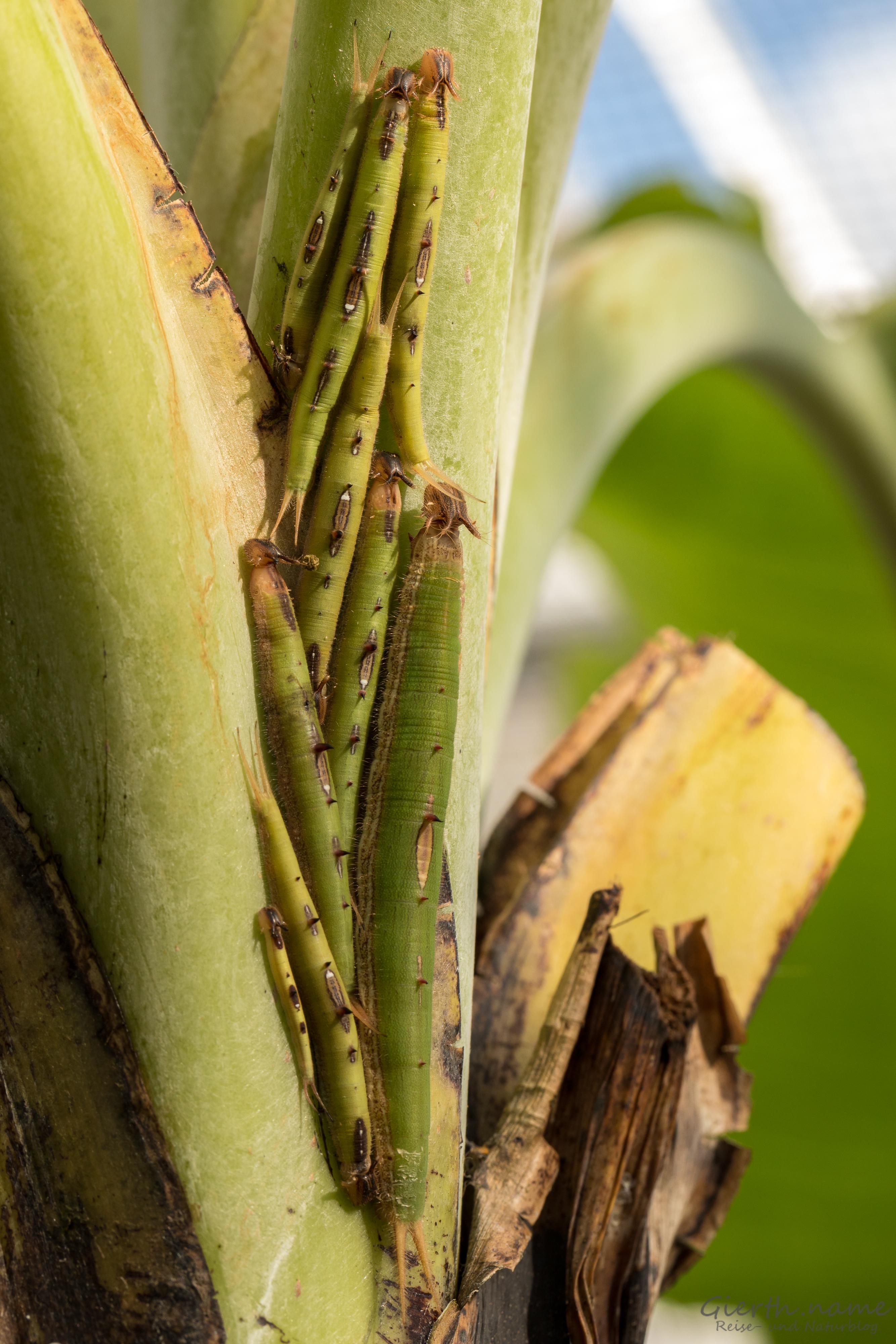 Bananenfalter Raupen