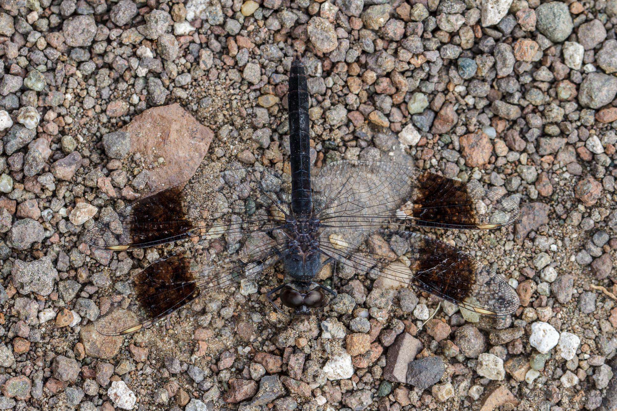 Südlicher Treuer Kurzpfeil - Banded groundling - Brachythemis leucosticta