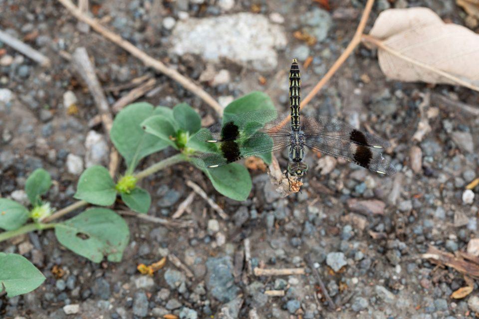 Banded groundling - Brachythemis leucosticta