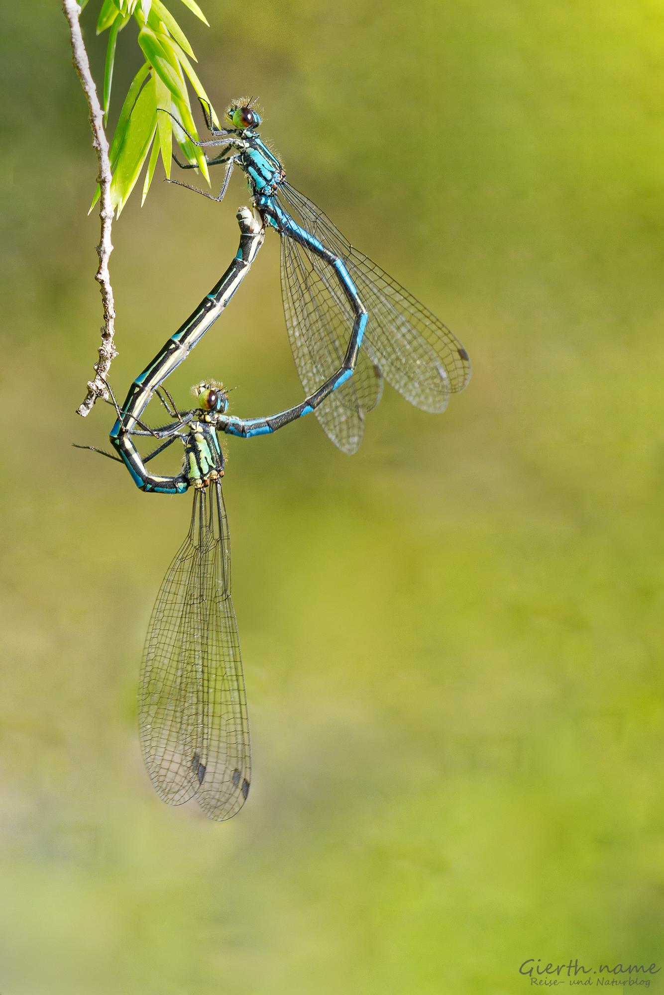 Paarungsherz Bileks Azurjungfer (Coenagrion hylas)