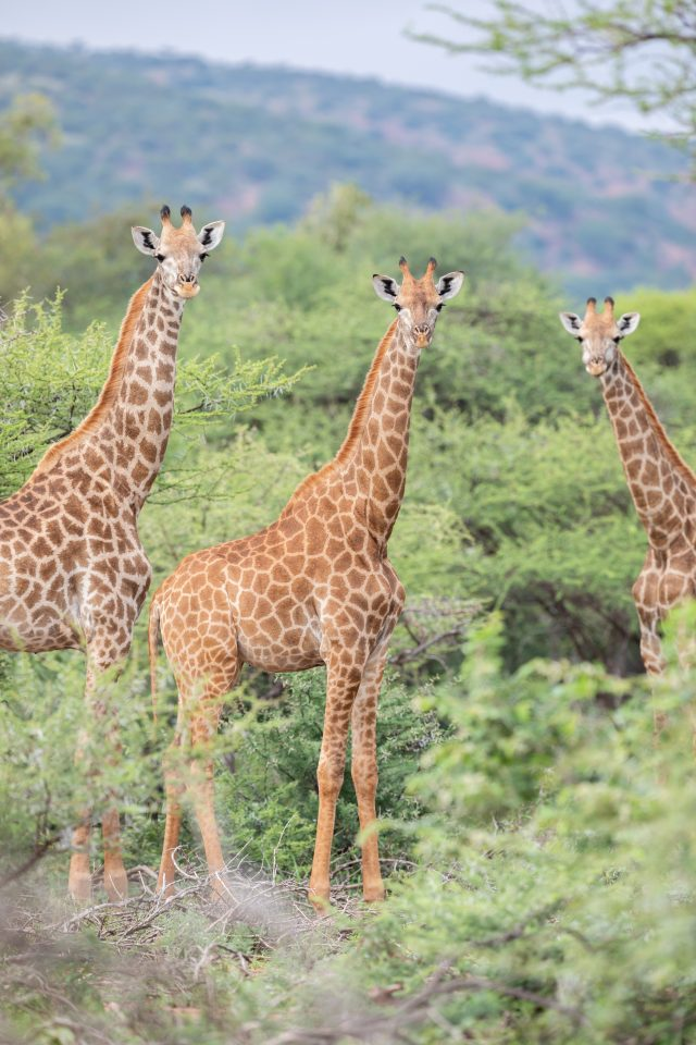 Giraffen im KuneMoya - Blouberg Reserve