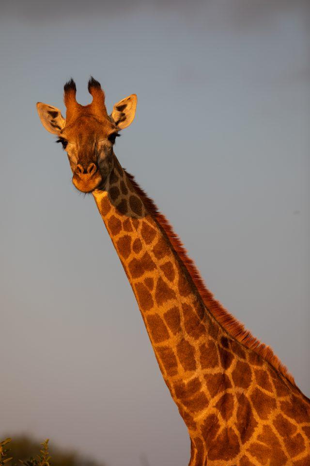 Giraffe Blouberg Mountain Reserve