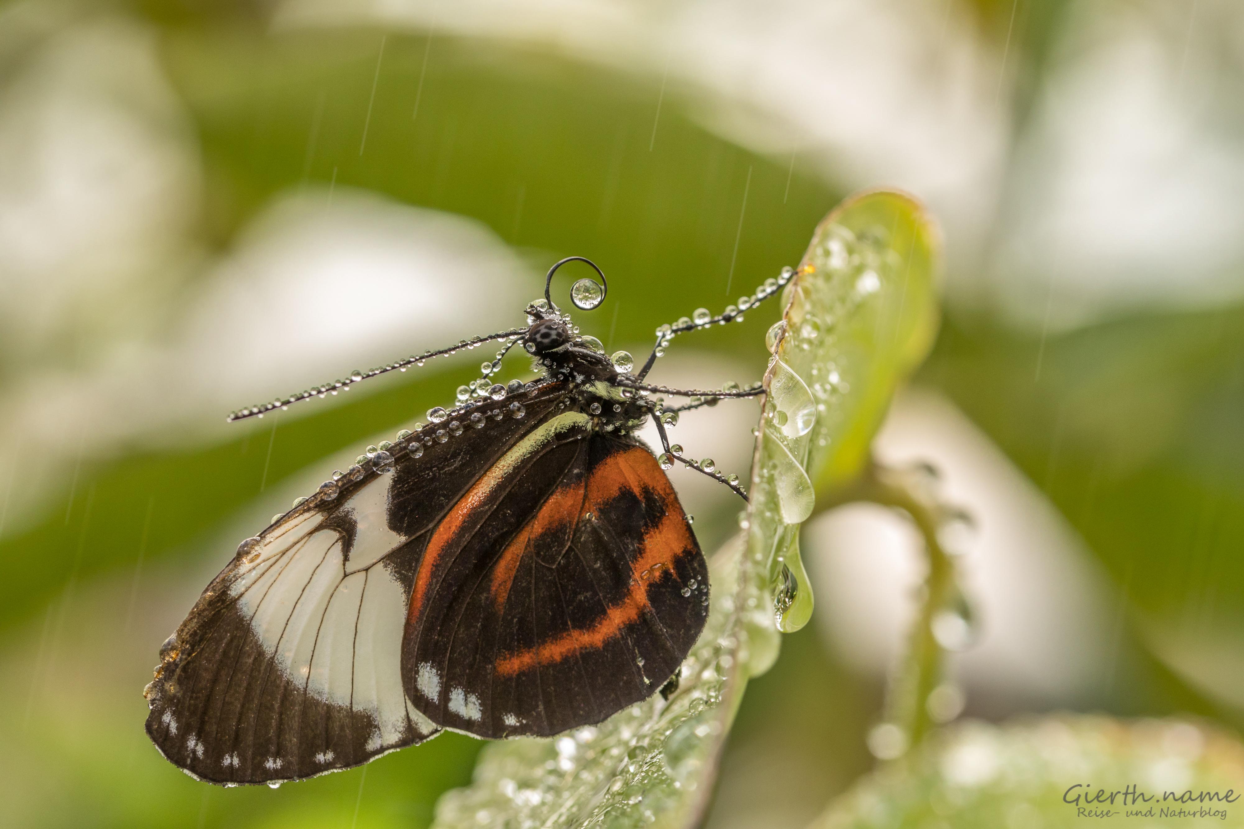 Tropische Schmetterlinge im BotMuc