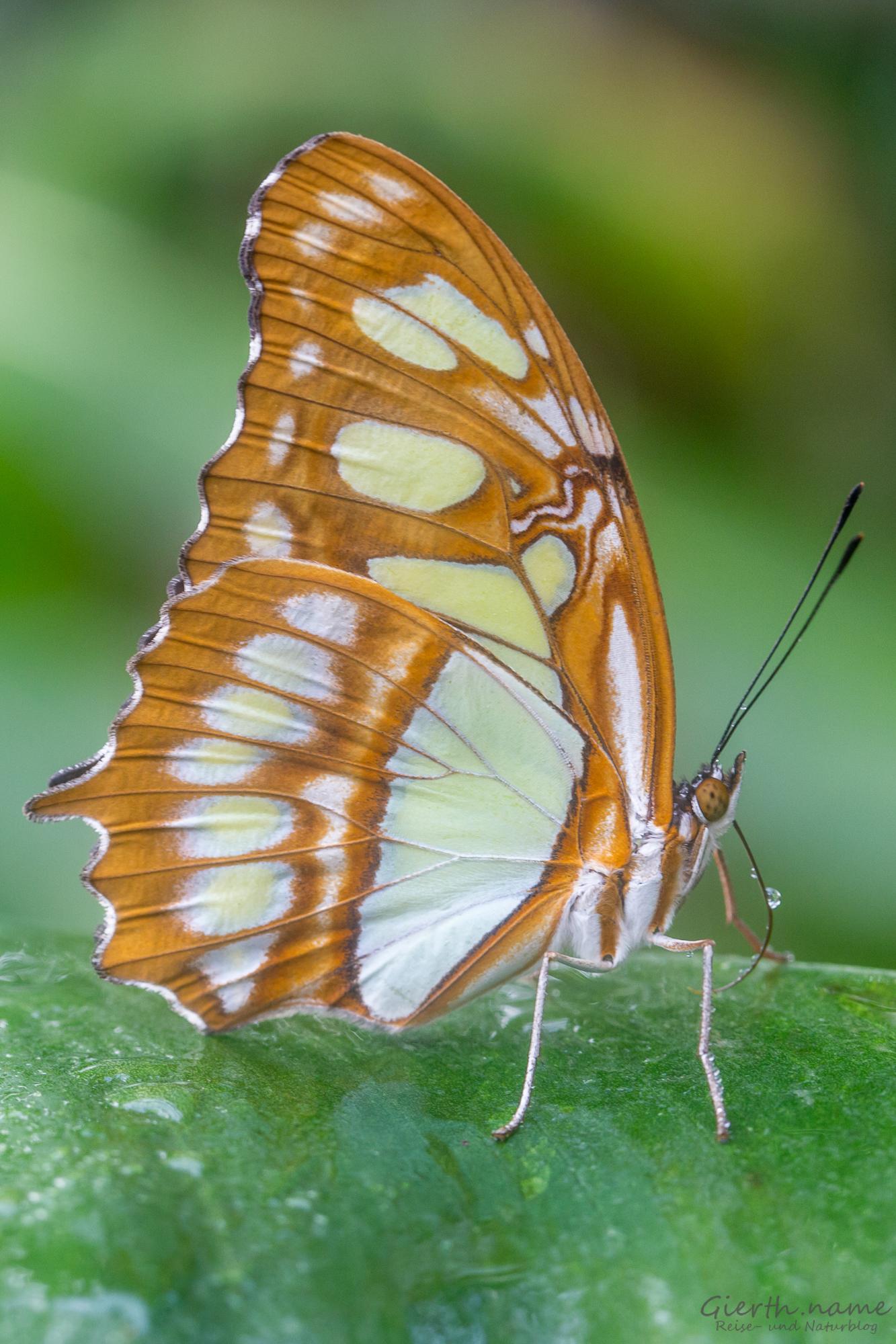 Ausstellung tropische Schmetterlinge im BotMuc › Bundeskater und Bundeskatze stromern herum