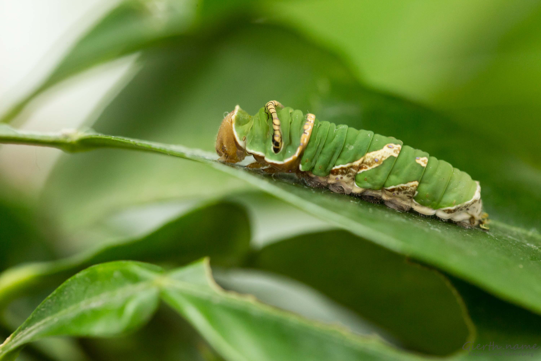 Papilio demoleus Raupe