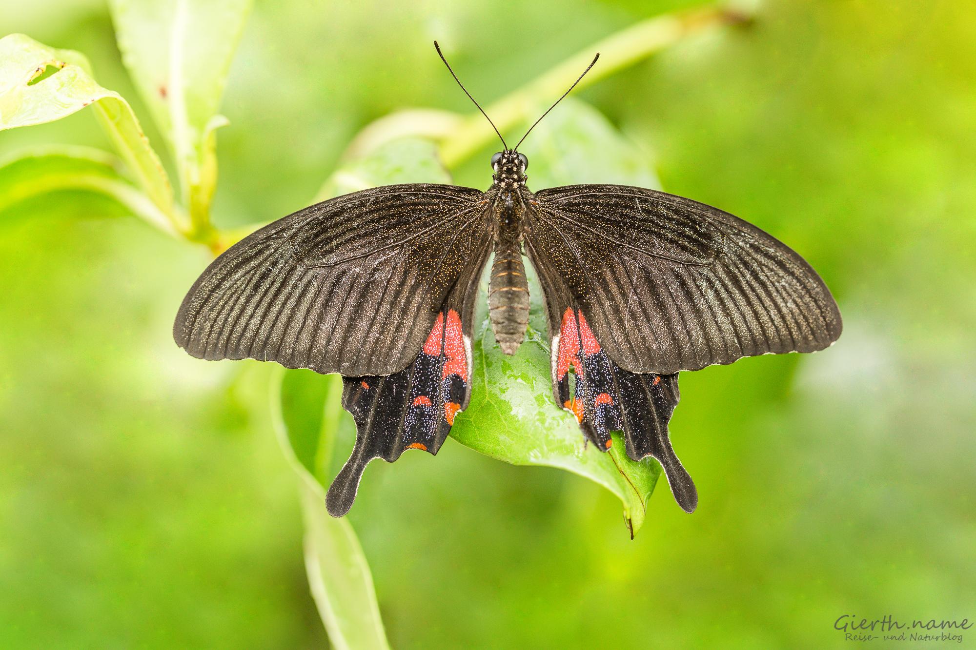 Papilio polytes - Kleiner / Gemeiner Mormon