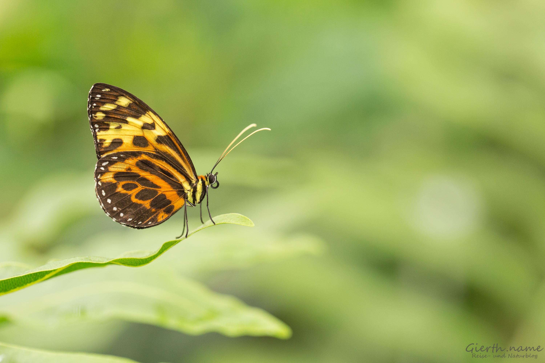 Bald ist es wieder soweit: Tropische Schmetterlinge im Botmuc
