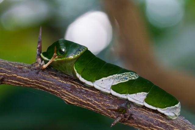 Ausgewachsene Raupe eines Papillo
