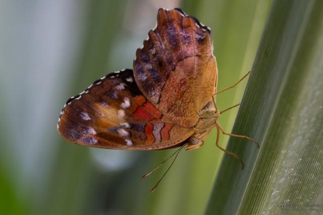 Anartia amathea  Unterseite