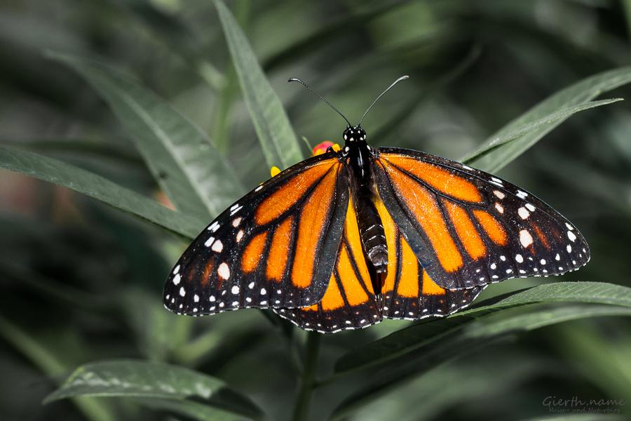 Monarchfalter im BotMuc
