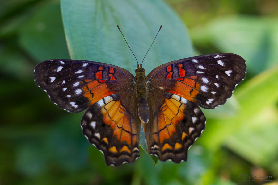 Anartia amathea