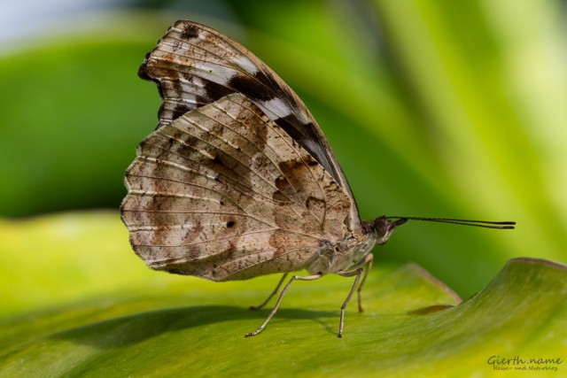 unbestimmter Schmetterling