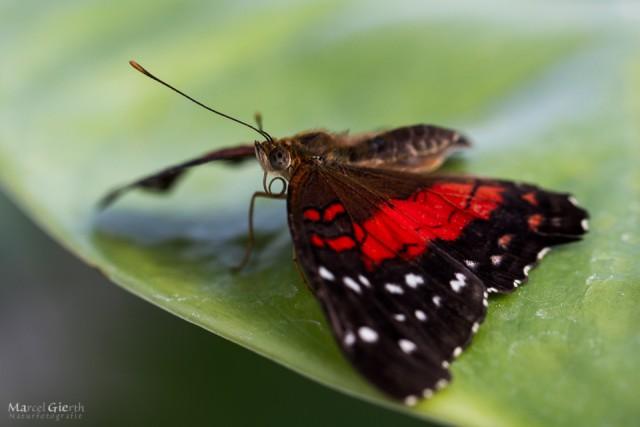 Schmetterling im Bot Muc