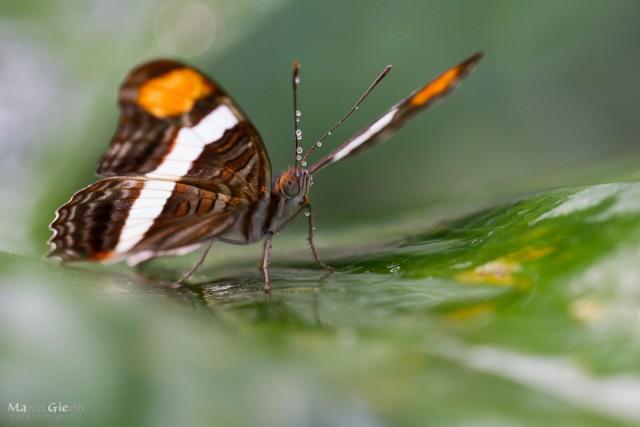 Tropische Schmetterlinge im Bot Muc